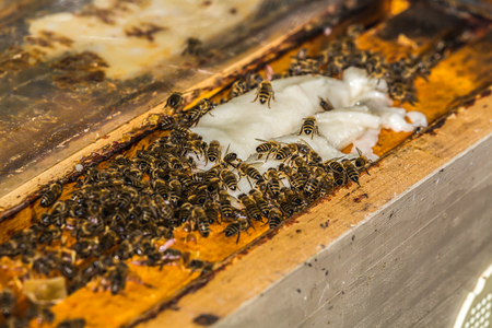apiculture: a lot of bees takes a sucrose from beekeeper on frames in hive Stock Photo