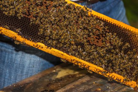 Blau markierte Bienenkönigin unter Bienen auf Bienenwabe aus Bienenstock entfernt Standard-Bild - 81286058