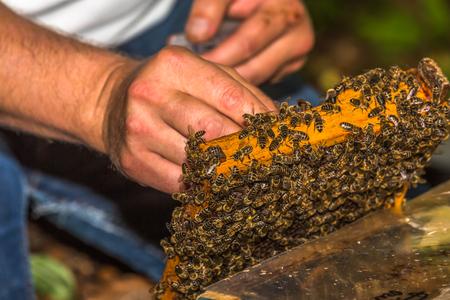 Imker fängt Bienenkönigin zum Markieren, auf Honigwabe aus dem Bienenstock entfernt Standard-Bild - 81287734