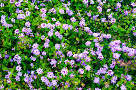 A Bed Of Tiny Purple Flowers Cover The Ground Imagens