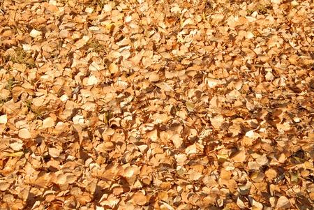 birchen: birch leaves Stock Photo