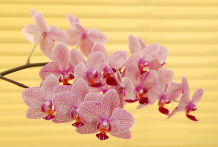 jalousie: lilac orchid near yellow jalousie Stock Photo