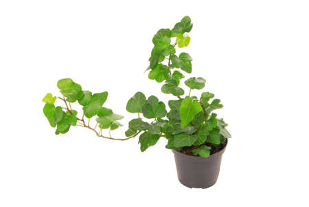 isolated ivy houseplant, green ivy house plant on white background, studio shot of creeping plant, closeup of creeper ivied, climbing plants is as single object, home bindweed, pot plant 免版税图像