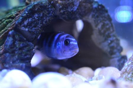 Cichlid Fish in aquarium. Scientific Name: Pseudotropheus Demasoni Stock Photo