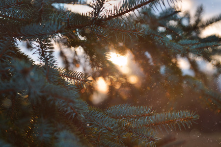 ambient: Nature, fir branches, mood, soft focus, ambiance, ambient photo, New Year, sunset, orbs, soft focus