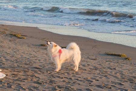 Samoyed dog on the beach