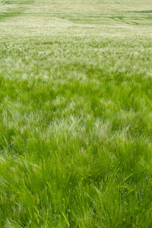 Close up iew of wheat field during a windy day 스톡 콘텐츠