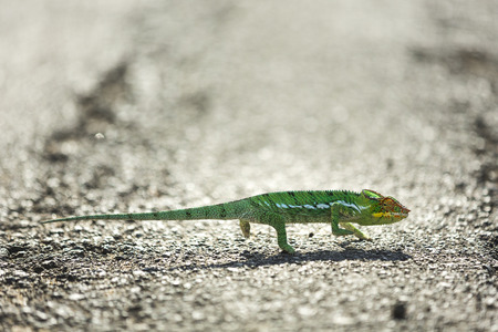 green chameleon on road, Madagascar