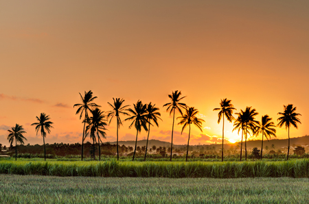 Silhouette of palm trees at sunset in fields of sugar canes Reklamní fotografie