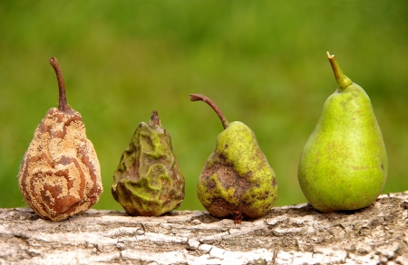 rotten fruit: Pears Stock Photo
