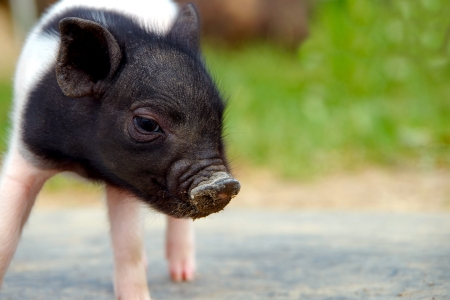 Little piggy Stock Photo