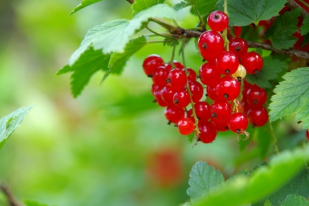 red bush: currant Stock Photo