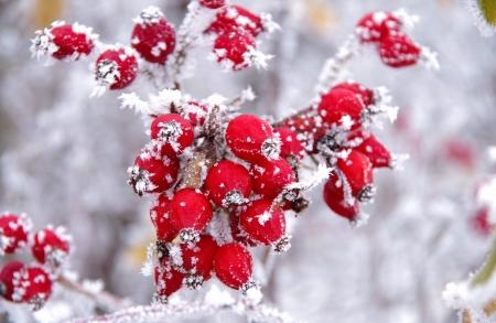 Frozen Rose hips in winter