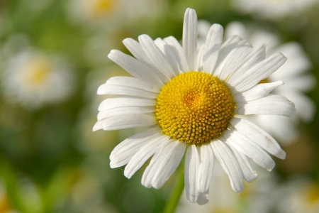 ox eye: Daisy
