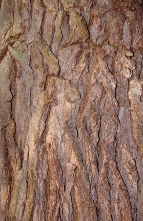 Bark of tree Catalpa bignonioides