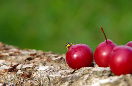 Wasp on a plum