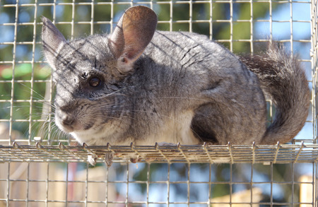 Chinchilla sit and watch in the cage photo