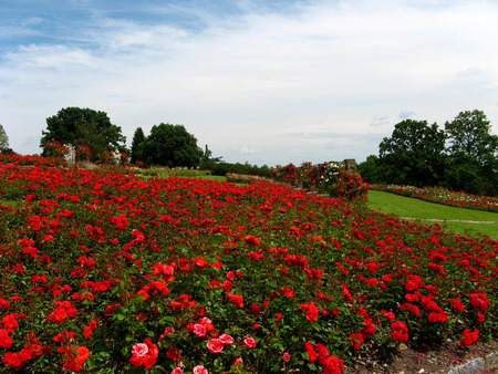 Bed of red roses and blue sky