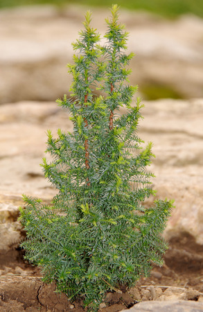 planted: Small thuja planted in the garden in spring Stock Photo