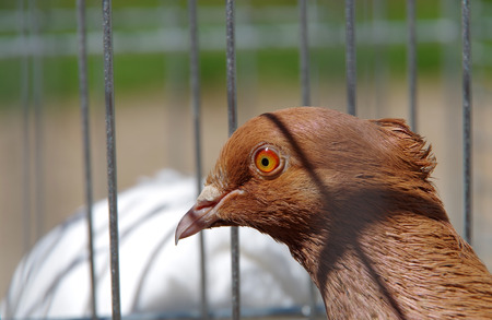 farmed: Pigeon farmed in captivity for the competition