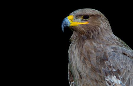 Brown big eagle on a black background