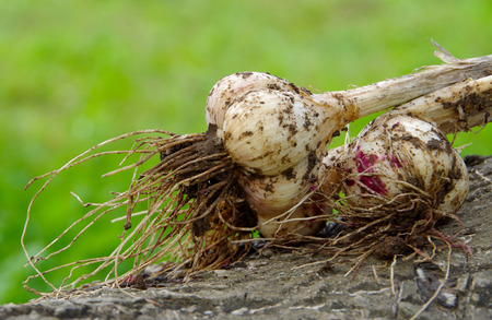 Garlic pulled out of the soil on a wooden bark