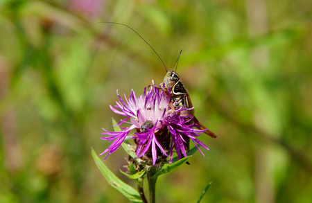 Grasshopper on purple thistle in the wind Stock Photo
