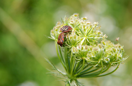 graphosoma: Minstrel Bugs (Graphosoma lineatum) mate on a green plant