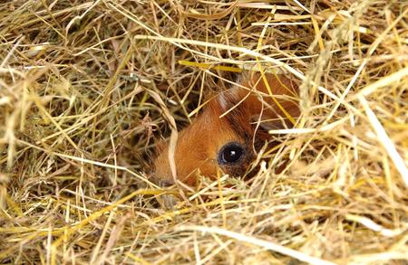 cavie: Cavie in una gabbia aperta su erba secca