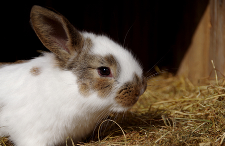 rabbit in cage: White rabbit in the cage on dry grass