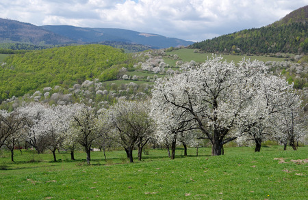 Cherry orchad, cherry trees blooming in spring in orchad Stock Photo