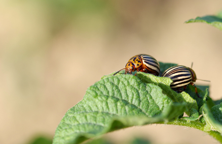 chitin: Colorado beetles - Leptinotarsa decemlineata on potato leaf