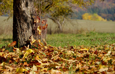 albero di mele: Alberi in autunno nel frutteto