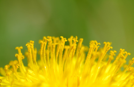 Yellow dandelions in the wind, in the spring