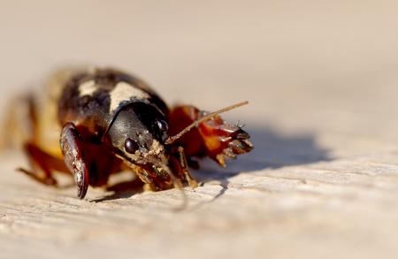 Mole Cricket, Gryllotalpa gryllotalpa on wooden table