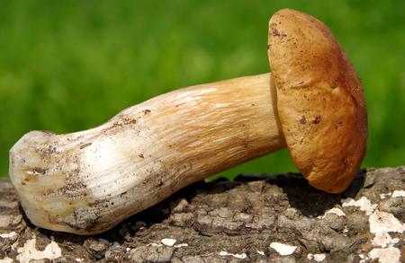 Boletus mushroom on green background on a wooden bark Stock Photo