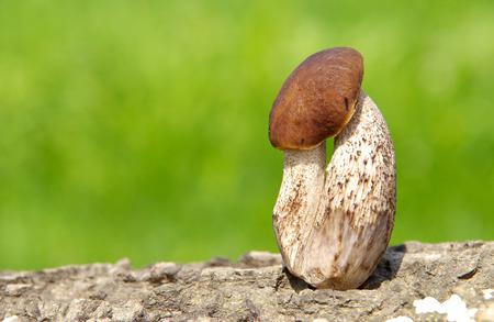 boletus mushroom: Boletus mushroom on green background on a wooden bark Stock Photo