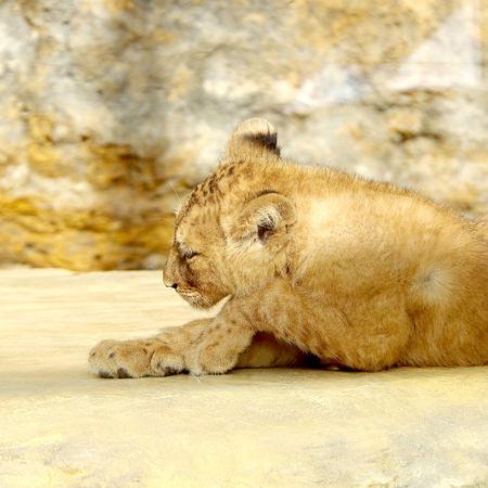 adapted: Small lion cub resting in the sun in captivity Stock Photo