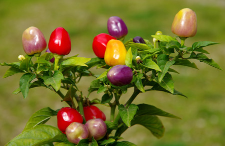 Ripening small peppers in a bush on green background