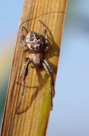 Spider on reed leaf and blue sky