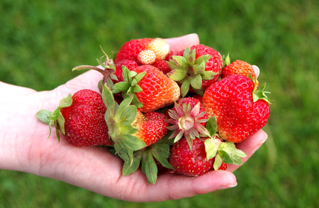 Strawberries in female hands on a green background