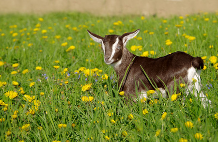 Small a young goat in the grass in spring