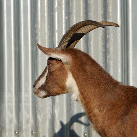 Brown goat with big horns looks to the side
