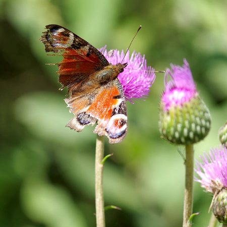 Butterfly on a blooming thistle eats pollen