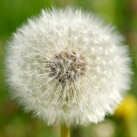Dandelion in bloom in spring on a green meadow