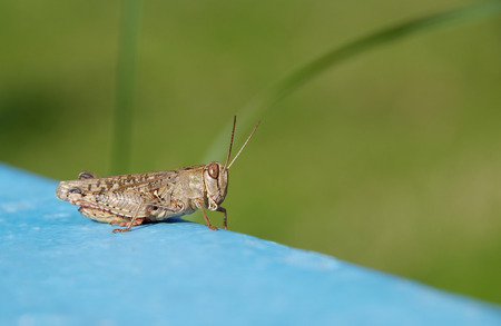 Grasshopper on a blue ground and a green background