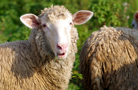 Sheep eats grass on a green meadow Stock Photo