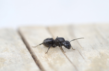 Detail of a black ant on a wooden board Stock Photo