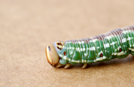 The green caterpillar on wooden board