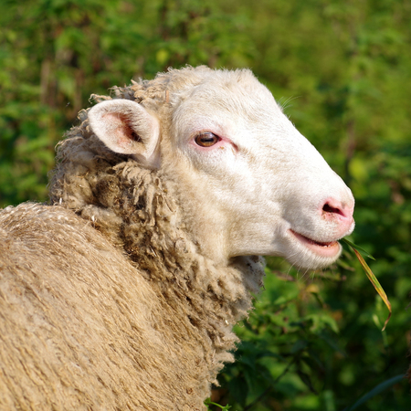 Sheep eats grass on a green background Stock Photo